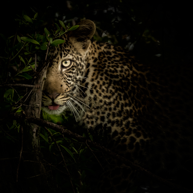 Leopard stalking in the Shadows
