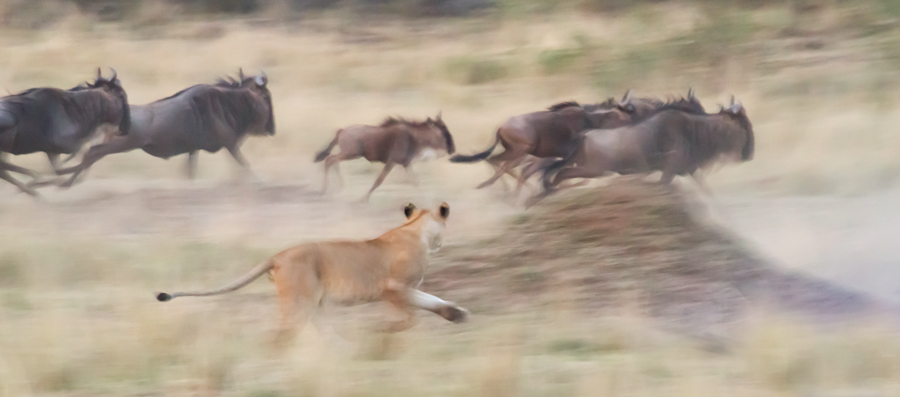 Lion-and-Widebeest