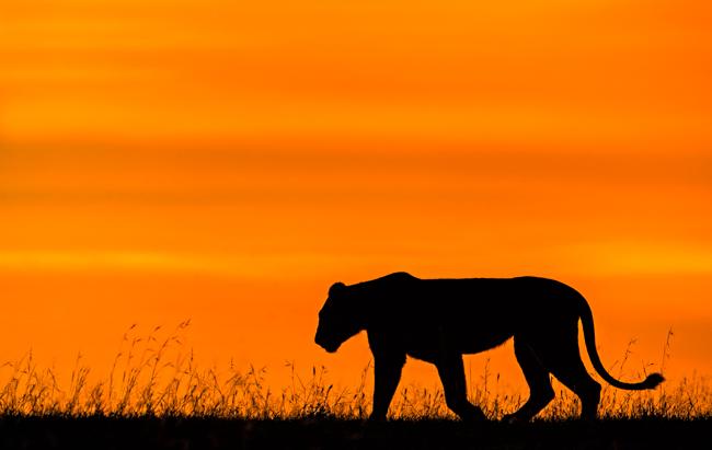 Lion Sunset 2