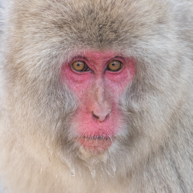 Macaque Close Up