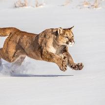Puma 11