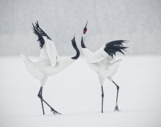 Red Crowned Crane Courtship