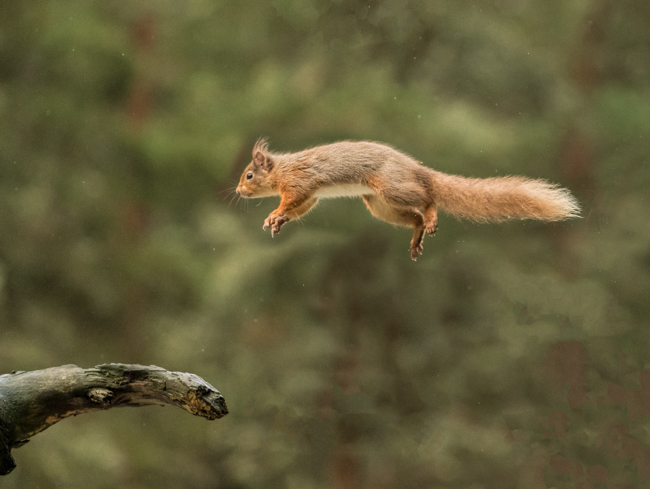 Red Squirrel Jump