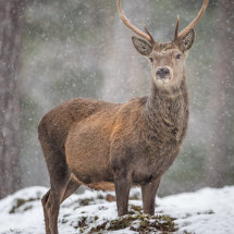 Red  Deer  Stag  1
