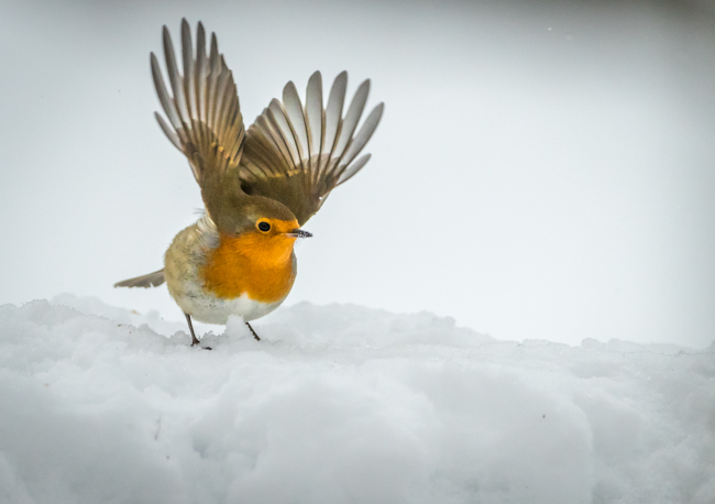 Robin Take Off