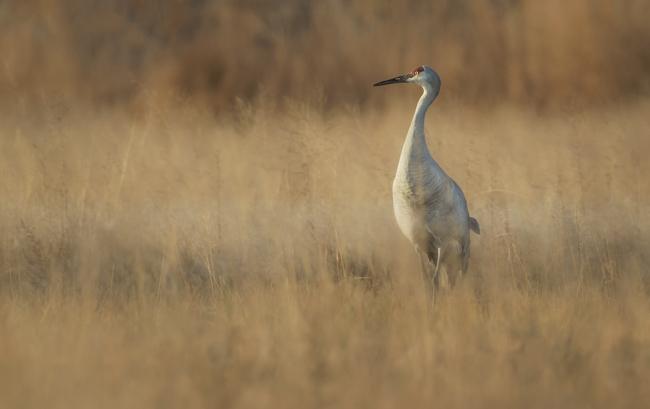 Sandhill Crane in the Grasses