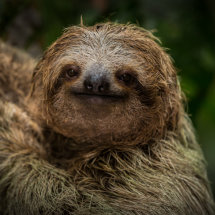 Sloth Closeup