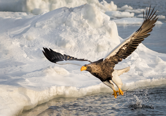 Stellers Eagle Catching Fish (2)