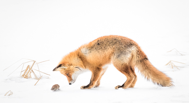 The Story of the Fox and the Vole