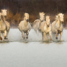 White  Horses  in  warm  evening  Light