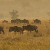 Wildebeest at Dawn