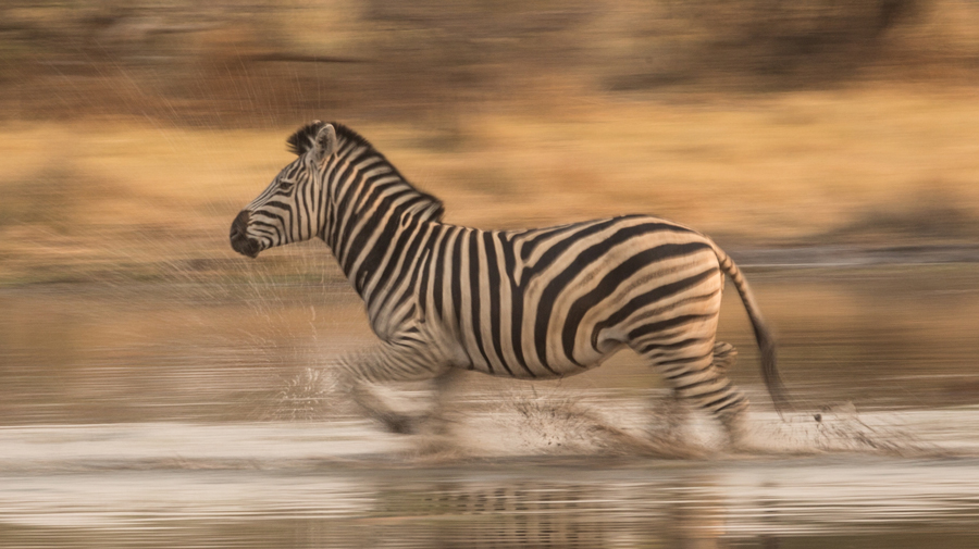 Zebra-Crossing-Water