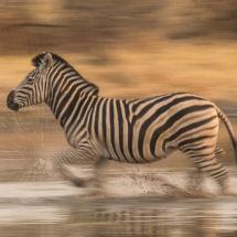 Zebra-Crossing-Water