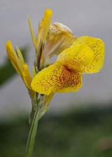 Flower of Antigua