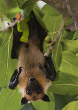 Maldivian Fruit Bat