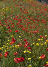 Poppys and Daisys
