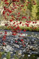 Clova Berries