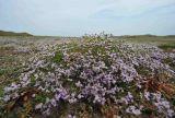 Matted Sea Lavender  Limonium bellidifolium