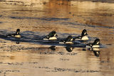Barrows Goldeneye. River Laxa. Myvatn. Iceland
