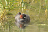 Dabchick with chicks.
