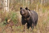 Brown Bear#4