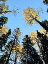Autumn Birch and Spruce