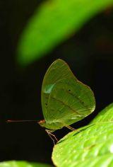 Obrinus Olivewing Nessaea obrinus. Rio Crystalino
