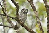 Juvenile Hawk Owl