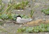Eastern Common Tern Sterna hirundo longipennis.