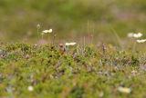 Spoon-billed Sandpiper on Nest