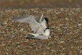 Sandwich Terns Mating