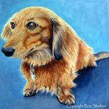 Long haired dachshund SOLD
