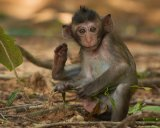 Found long tailed Macaque, Cambodia