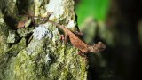 Mountain Horned Lizard, Vietnam
