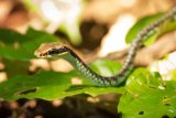Snake, Cat Ba National Park, Vietnam