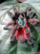 Martinique Bird spider