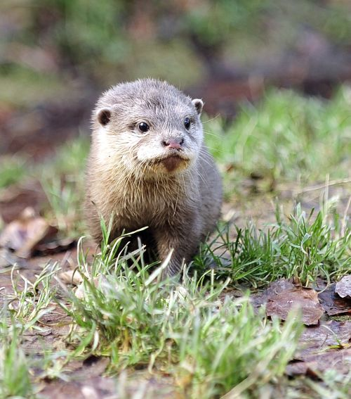 Baby Short Clawed Otter