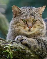 European Wildcat