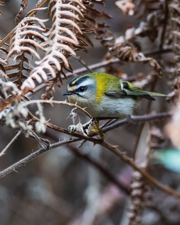 Firecrest in Bracken