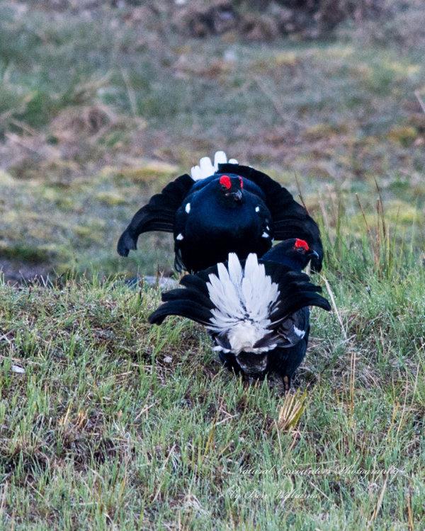 Lekking Black Grouse