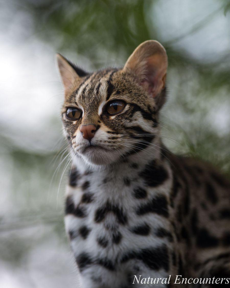 Domestic asian leopard cat