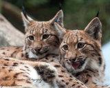 Carpathian Lynx cubs