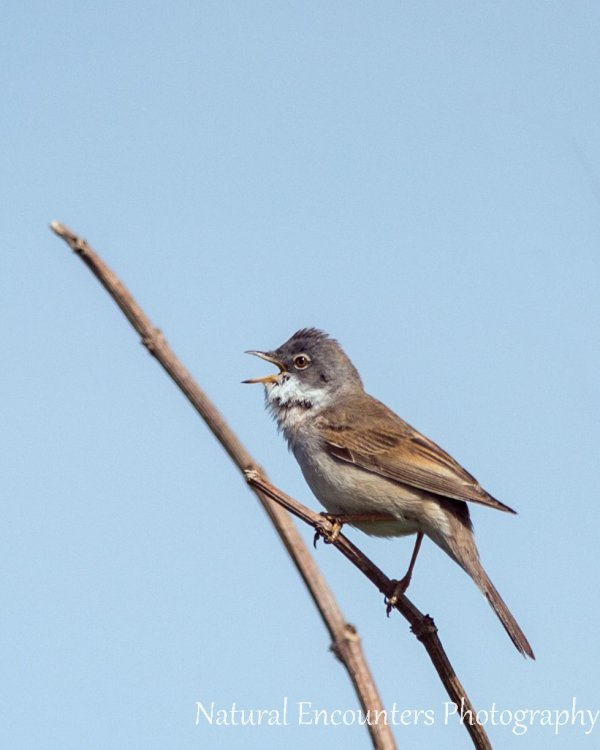 Whitethroat (male)