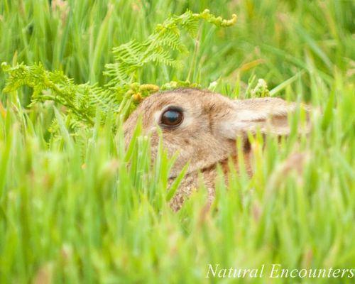 Rabbit on Skomer Island