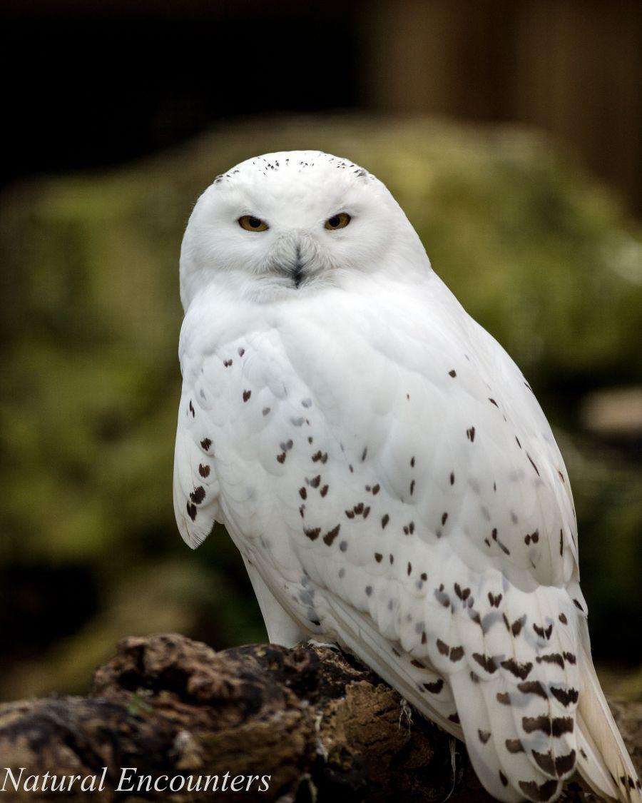 Snowny Owl