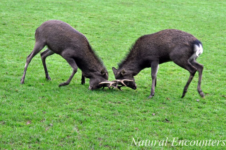 Two Male Sika deer caught mid battle