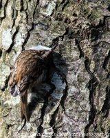 Long Toed Treecreeper