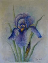 Blue Bearded Iris -  SOLD