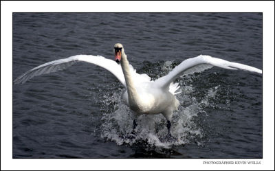 Swan Landing on the Lake