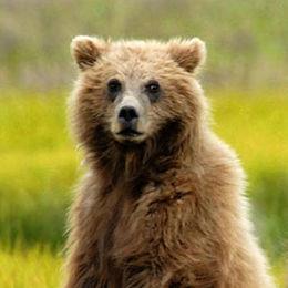 "WB05 Grizzly Bear, Ursus arctos horribilis, ""Where is it?"","